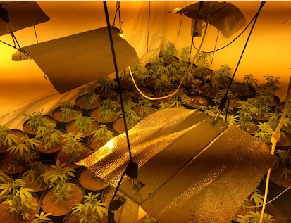 Special Constables seize over a hundred cannabis plants in Tilbury