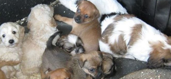 Tax-dodging puppy farmers targeted in HMRC operation