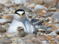 Time to see the Thurrock Tern at the Thameside Nature Park in Thurrock