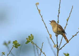 Essex remains a stronghold for nightingale