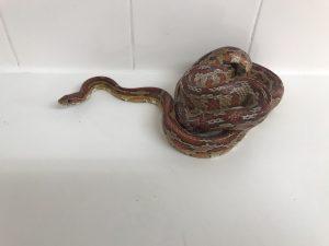 snake grays